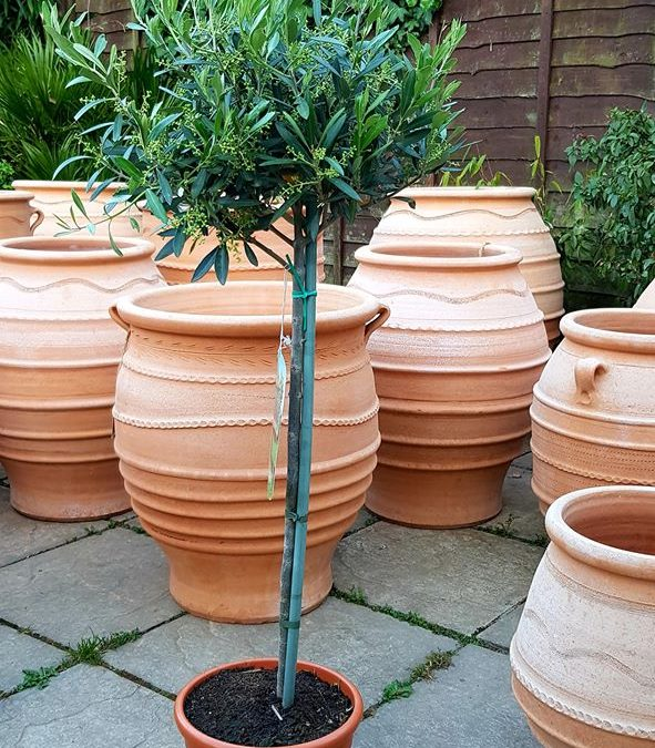 Italian Olive Trees (Olea Europaea) – 80cm high and 5 years old – Grown in Calabria, Italy
