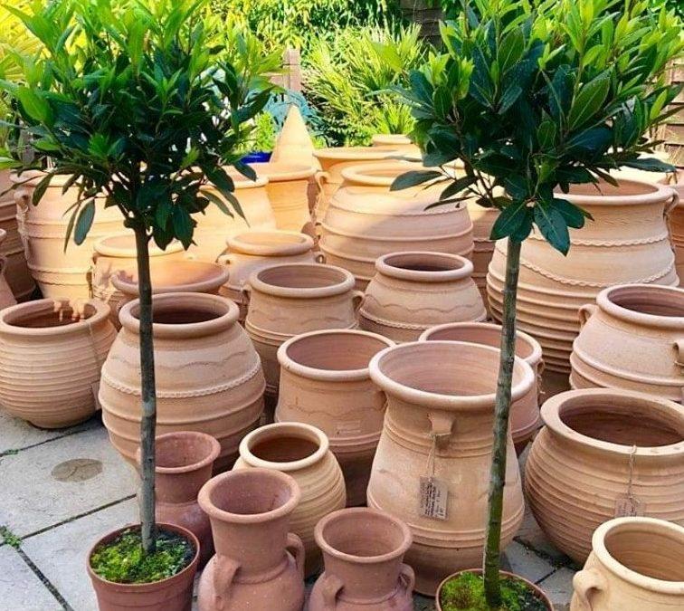 Standard Mediterranean Bay Trees – 1.4 metres high – Grown in Sicily