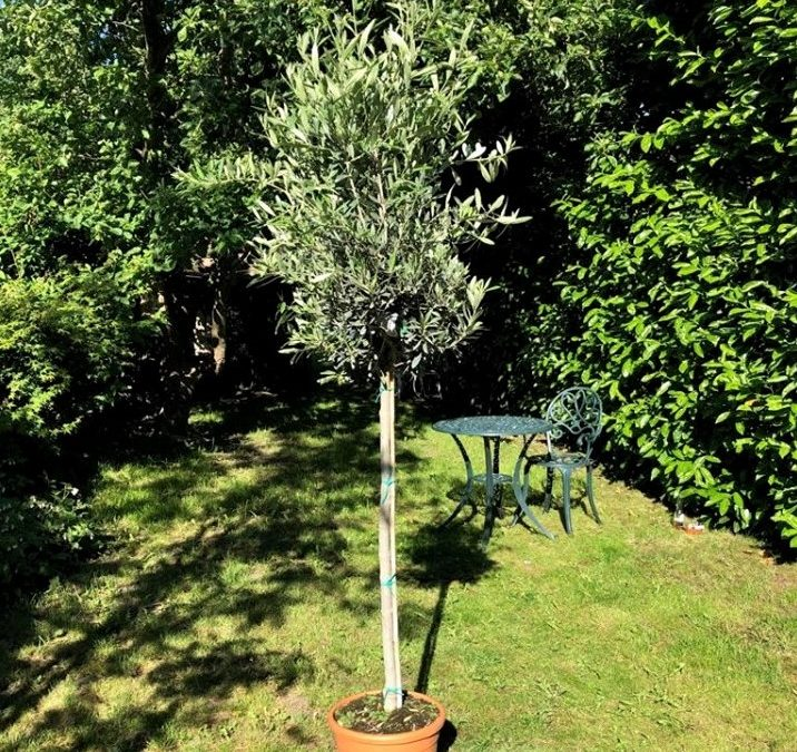 Italian Olive Trees (Olea Europaea) – 1.6 metres high and 15 years old – Grown in Calabria, Italy
