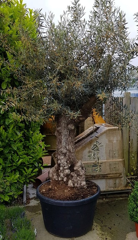 Italian Olive Tree (Olea Europaea) – 120 to 140 Years Old – 2 metres high – Grown in Calabria, Italy (Special Order Only)
